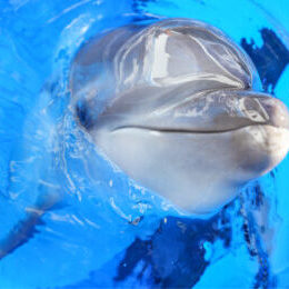 Common bottlenose dolphin(AIRU)