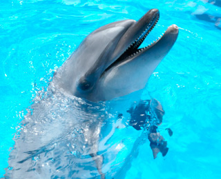 Common bottlenose dolphin(NIHAI)