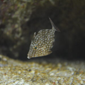Whitespotted pygmy filefish